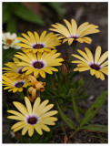 Little Yellow Flowers in Medians