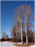 Birch Winter.jpg