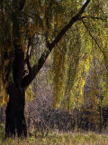 Our Willow in the Fall