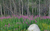 Fireweed in Aspen