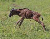 NEWBORNS in Ngorongoro/Serengeti