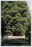Aquarium et Ficus macrophylla