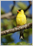 Chardonneret jaune (m) / Spinus tristis