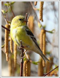 Chardonneret jaune  /  Spinus tristis