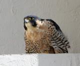 Peregrine Falcon - adult_4064.jpg