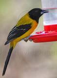 Audubons Oriole_7314.jpg