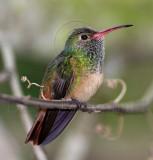 Buff-bellied Hummingbird_7036.jpg