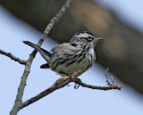 Black-and-white Warbler - male breeding_8423.jpg