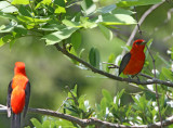 Scarlet Tanagers_8489.jpg