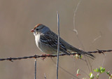 White-crowned Sparrow - immature_6463.jpg