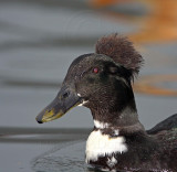Crested Duck - domestic_7050.jpg