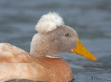 Crested Duck - domestic_7072.jpg