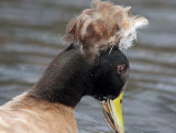 Crested Duck - domestic_7084.jpg