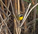 Common Yellowthroat - male_0255.jpg