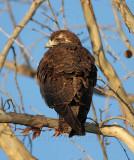 White-tailed Hawk - juvenile_0530.jpg