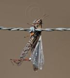Loggerhead Shrike - larder_0813.jpg