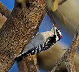 Downy Woodpecker - male_1056.jpg