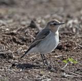 Northern Wheatear - female Beeville TX_1260.jpg
