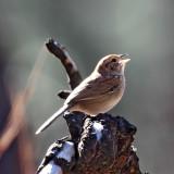 Bachman's Sparrow_8402.jpg