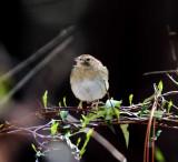 Bachman's Sparrow_8567.jpg