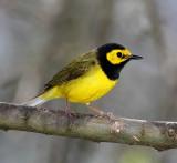 Hooded Warbler - male_8702.jpg