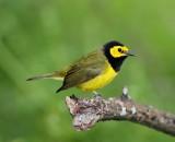 Hooded Warbler - male_8713.jpg