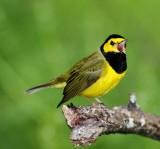 Hooded Warbler - male_8715.jpg