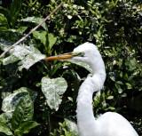 Great Egret - breeding_4455.jpg