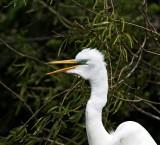 Great Egret - breeding_4636.jpg