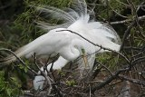 Great Egret - breeding_4630.jpg