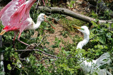 Roseate Spoonbill vs Great Egret_4603.jpg