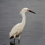 Snowy Egret - breeding_4711.jpg