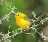 Prothonotary Warbler_4938.jpg