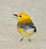 Prothonotary Warbler_4979.jpg