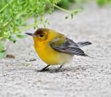 Prothonotary Warbler_4986.jpg