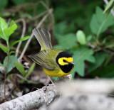 Hooded Warbler - male_5023.jpg