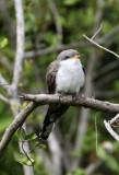 Yellow-billed Cuckoo_4856.jpg
