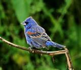 Blue Grosbeak - male_4947.jpg