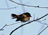 American Redstart  male_5162.jpg