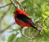 Scarlet Tanager - breeding male_5179.jpg
