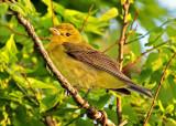 Scarlet Tanager - female_5266.jpg