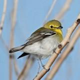 Yellow-throated Vireo_5418.jpg