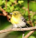 Yellow-throated Vireo_5343.jpg