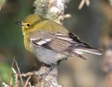 Yellow-throated Vireo_5464.jpg