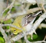 Yellow-throated Vireo_5448.jpg
