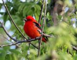 Scarlet Tanager - breeding male_5170.jpg