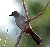 Gray Catbird_5946.jpg