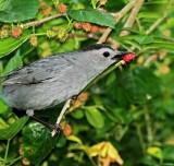 Gray Catbird_5983.jpg