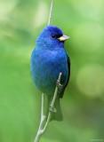 Indigo Bunting - breeding male_5606.jpg