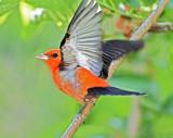 Scarlet Tanager - breeding male (orange variant)_5947.jpg